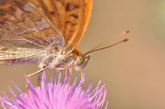 蝴蝶被洗涤的贝母银 库存图片
