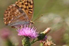 蝴蝶被洗涤的贝母银 库存照片