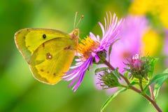 蝴蝶被覆盖的硫磺 图库摄影