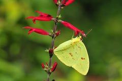 蝴蝶被覆盖的黄色 图库摄影