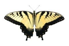 蝴蝶西部swallowtail的老虎 免版税库存图片