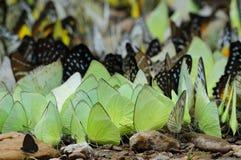 蝴蝶许多 免版税库存图片