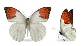 蝴蝶详细要素 前和侧视图 库存照片