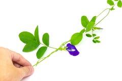 蝴蝶豌豆花,这朵花能在有泰国的点心的色料蓝色和紫色颜色 库存图片