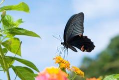 蝴蝶跳舞swallowtail 免版税图库摄影