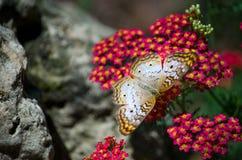 蝴蝶金子着陆白色 免版税库存图片
