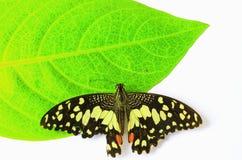 蝴蝶隔离 库存照片