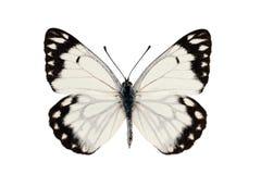 蝴蝶雀跃白色 免版税图库摄影