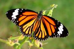 蝴蝶顶视图 库存照片