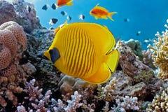 蝴蝶鱼礁石 免版税库存图片