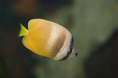 蝴蝶鱼 库存照片