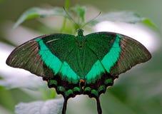 蝴蝶鲜绿色变体 库存照片