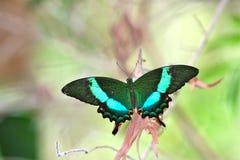 蝴蝶鲜绿色孔雀swallowtail 图库摄影