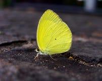 蝴蝶黄色 免版税库存图片