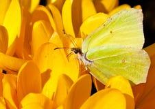 蝴蝶黄色 免版税库存照片