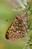 蝴蝶黑暗的贝母绿色 库存照片