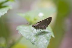 蝴蝶,一点烙记了快速- Pelopidas mathias 免版税库存照片