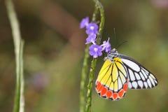 蝴蝶,共同的Jazebel Delias eucharis -特写镜头 免版税库存照片
