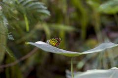 蝴蝶,共同的Jazebel - Delias eucharis 免版税库存照片