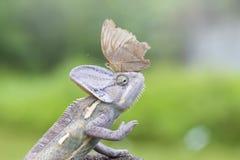 蝴蝶,动物,宏观cameleon,野生生物, 免版税库存图片