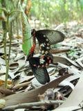 蝴蝶,巨人Swallowtails联接 免版税库存照片