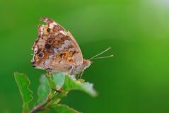 蝴蝶,自然,宏指令, 免版税图库摄影