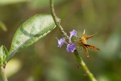 蝴蝶, Yello棕榈箭- Cephrenes trichopepla 库存图片