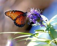 蝴蝶:短暂秀丽,呈虹彩和似蛋白石 库存图片