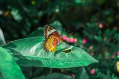 蝴蝶 在被弄脏的自然背景的美丽的热带蝴蝶 五颜六色的蝴蝶在泰国庭院里 热带蝴蝶 库存图片