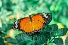 蝴蝶 在被弄脏的自然背景的美丽的热带蝴蝶 五颜六色的蝴蝶在泰国庭院里 热带蝴蝶 图库摄影