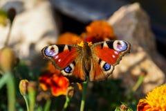 蝴蝶 免版税库存图片