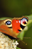 蝴蝶 免版税图库摄影