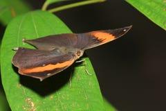蝴蝶(Kallima inachus) 免版税库存照片