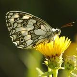 蝴蝶(Melanargia galathea) 免版税库存照片