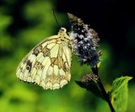 蝴蝶(Melanargia galathea) 免版税图库摄影
