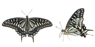 蝴蝶(Papilio xuthus) 30 免版税图库摄影
