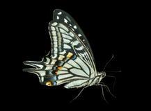 蝴蝶(Papilio xuthus) 31 库存照片
