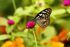 蝴蝶11 免版税库存图片