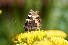 蝴蝶Aglais urticae坐一朵黄色花 库存照片