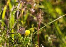 蝴蝶Aricia agestis坐在夏天草甸的小黄色花苜蓿falcata,侧视图 库存照片