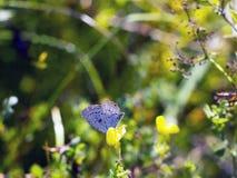 蝴蝶Aricia agestis坐在夏天草甸的小黄色花苜蓿falcata,侧视图 图库摄影
