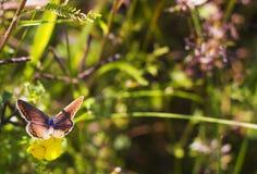 蝴蝶Aricia agestis坐在夏天草甸的小黄色花苜蓿falcata,顶视图 库存图片