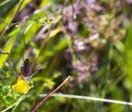 蝴蝶Aricia agestis坐在夏天草甸的小黄色花苜蓿falcata,顶视图 免版税库存图片
