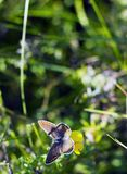 蝴蝶Aricia agestis坐在夏天草甸的小黄色花苜蓿falcata,顶视图 免版税库存照片