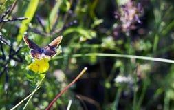 蝴蝶Aricia agestis坐在夏天草甸的小黄色花苜蓿falcata,顶视图 库存照片