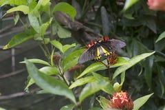 蝴蝶birdwing的蝴蝶 免版税库存照片