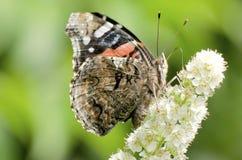 蝴蝶cardui夫人被绘的蛱蝶 免版税库存照片