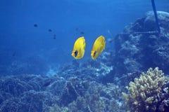 蝴蝶chaetodon鱼屏蔽了semilarvatus 免版税库存照片