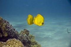 蝴蝶chaetodon鱼被屏蔽的semilarvatus 免版税图库摄影