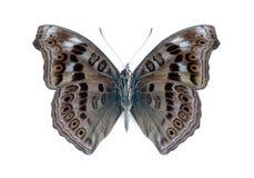 蝴蝶hedonia junonia摘要下面 库存照片